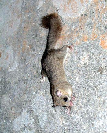Ghiro arrampicato tranquillamente sul muro come l'uomo ragno