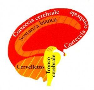 cervello - www.scuoladirespiro.org